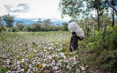 Video | Cultivos de algodón: patrimonio cultural de Ambalema, Tolima